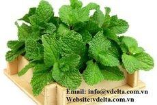 High quality Dried Mint leaf/ powder